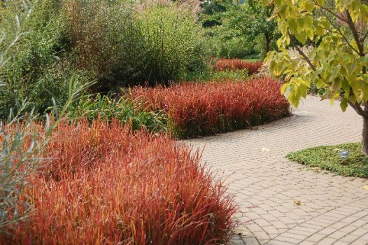 Grass_Imperata_'Red_Baron'_1