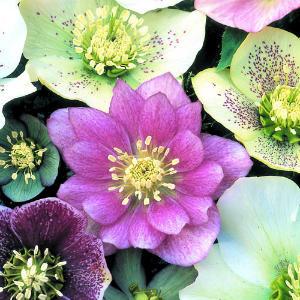 lenten-rose-perennial-m